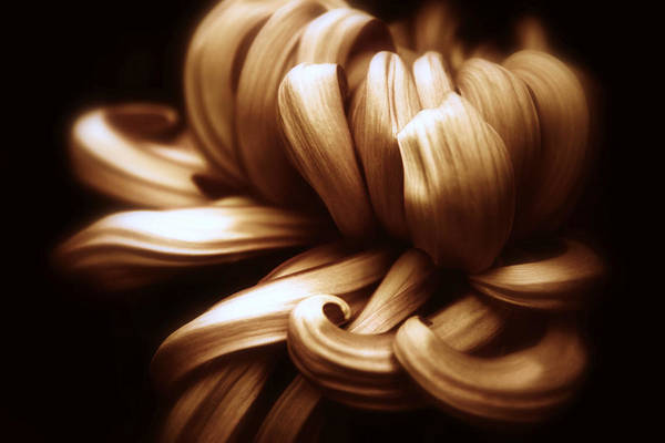 Wall Art - Photograph - Copper Chrysanthemum Curves by Jessica Jenney