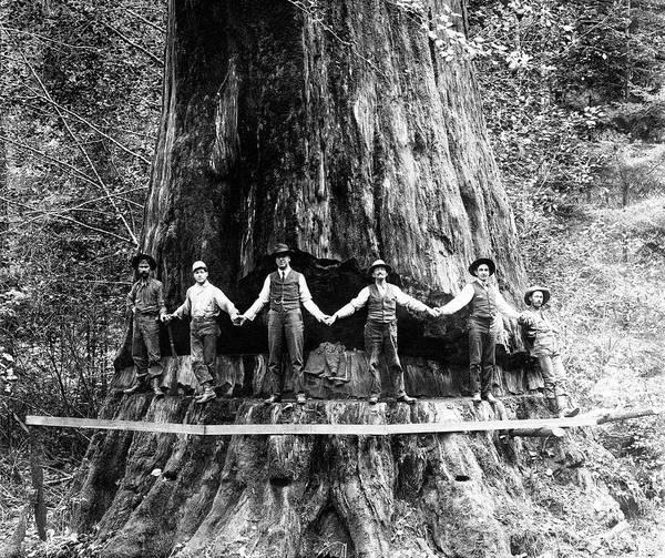 Wall Art - Photograph - 24 Foot Sequoia And Lumberjacks 1908 by Daniel Hagerman