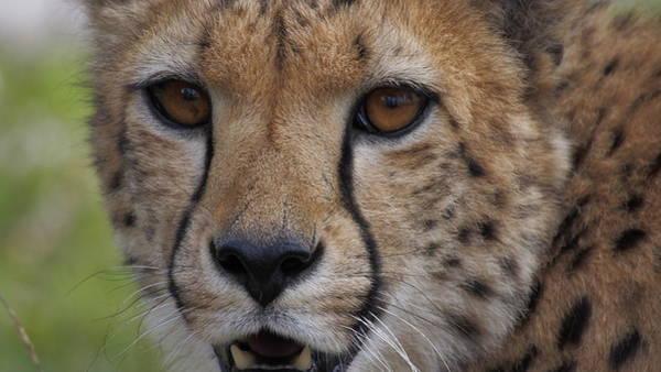 Photograph - Cheetah by Eye to Eye Xperience