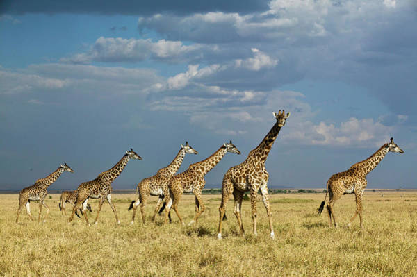 Photograph - Kenya, Masai Mara National Reserve by Denis-huot Michel / Hemis.fr