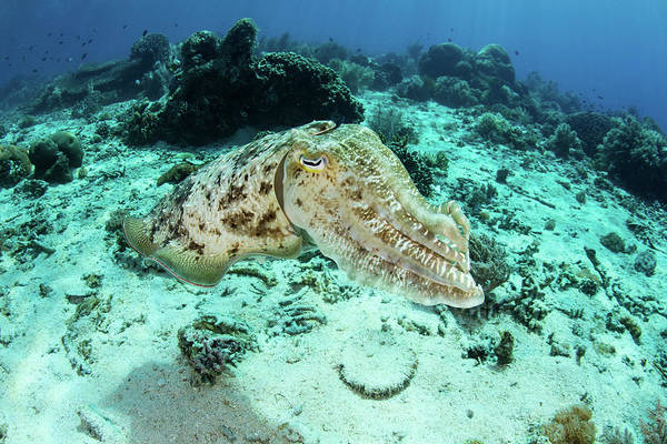 Photograph - A Large Broadclub Cuttlefish, Sepia by Ethan Daniels