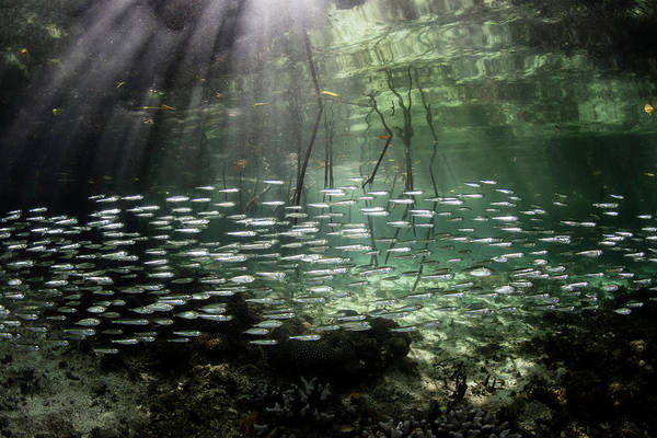 Photograph - A Large School Of Slender Silversides by Ethan Daniels