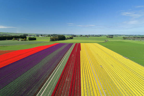 Wall Art - Photograph - Aerial Of Colorful Tulip Fields by David Wall