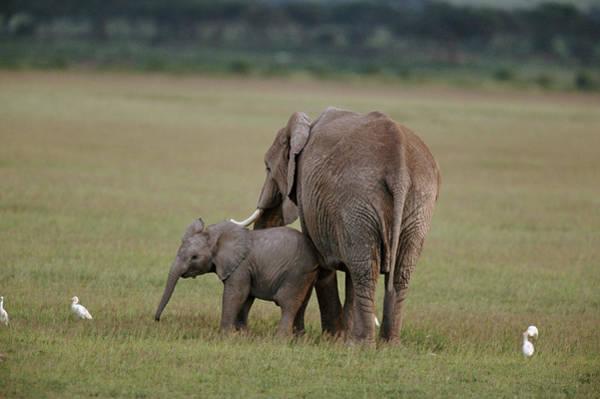 Mammal Photograph - African Elephants Loxodonta Africana by Art Wolfe