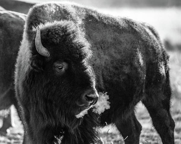 Photograph - American Bison by Philip Rodgers