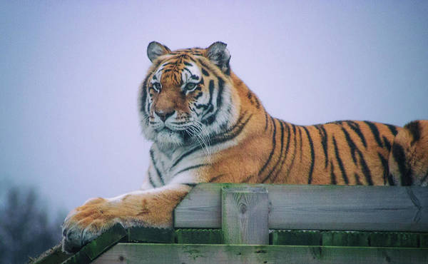 Wall Art - Photograph - Amur Tiger by Martin Newman