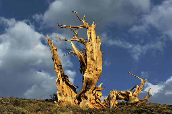 Wall Art - Photograph - Ancient Bristlecone Pine Tree by Adam Jones