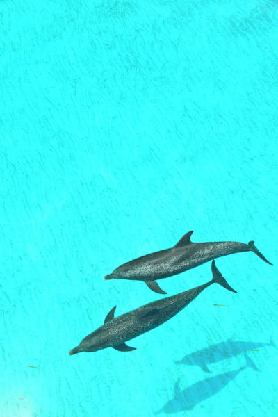 Wall Art - Photograph - Atlantic Spotted Dolphins, White Sand by Stuart Westmorland
