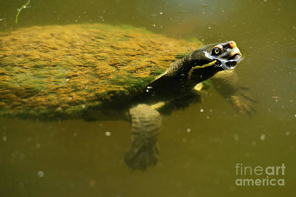 Photograph - Australian Freshwater Turtle by Rob D Imagery