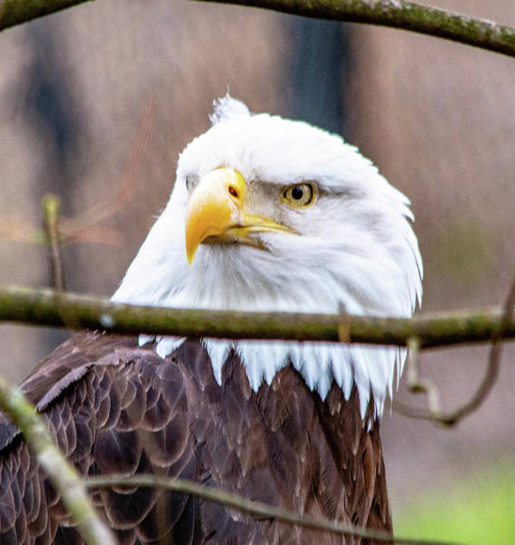 Wall Art - Photograph - Bald Eagle by William Rogers