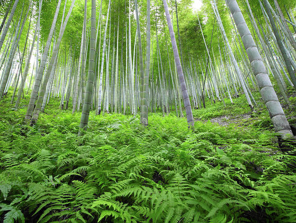 Wall Art - Photograph - Bamboo Forest by Bihaibo