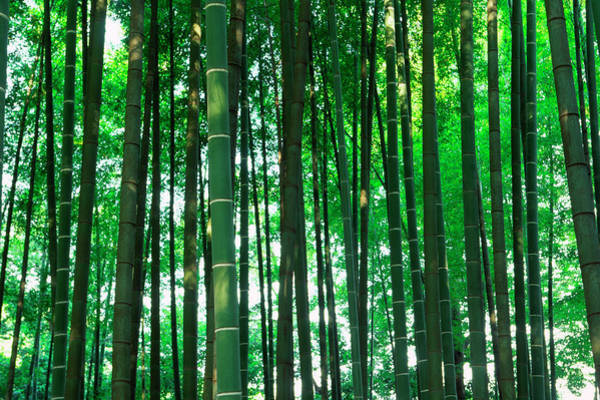 Wall Art - Photograph - Bamboo Trees by Ooyoo