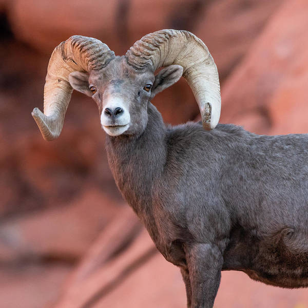 Photograph - Big Horn Sheep  by Brenda Jacobs