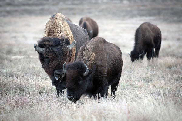 Wall Art - Photograph - Bisons by Catherine Lau
