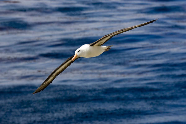 Wall Art - Photograph - Black-browed Albatross by David Hosking