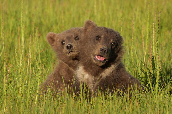Born In The Usa Photograph - Brown Bear Cubs, Lake Clark National by Mint Images/ Art Wolfe