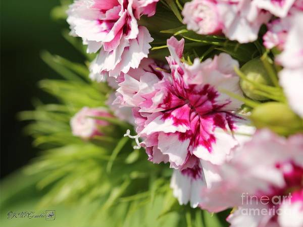 Wall Art - Photograph - Burgundy And White Sweet William From The Super Bluepoint Duplex Mix by J McCombie