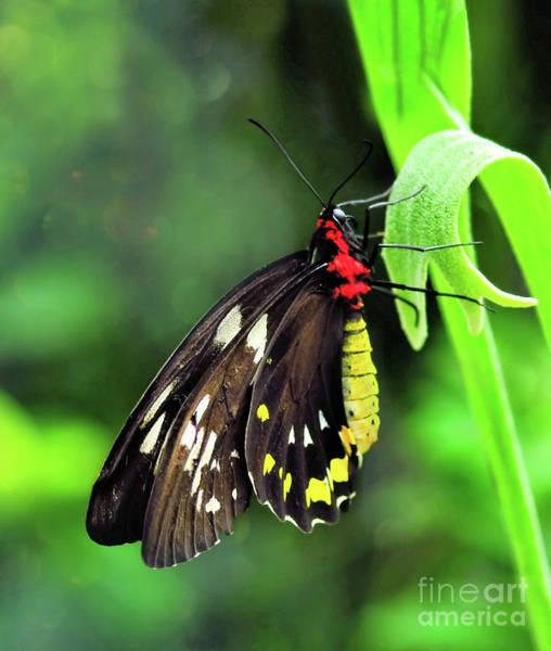 Wall Art - Photograph -  Birdwing Butterfly by Elaine Manley