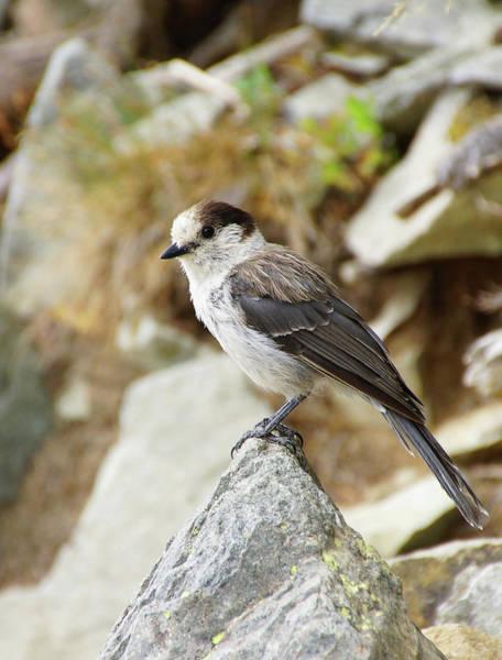 Photograph - Camprobber - The Gray Jay by Steve Estvanik