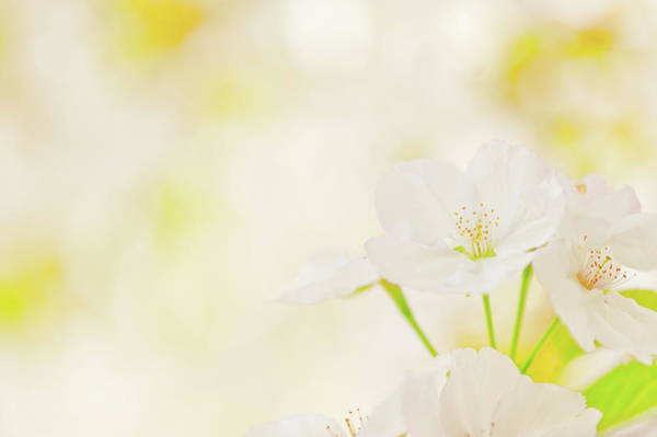 Season Photograph - Cerry Blossom by Mmac72