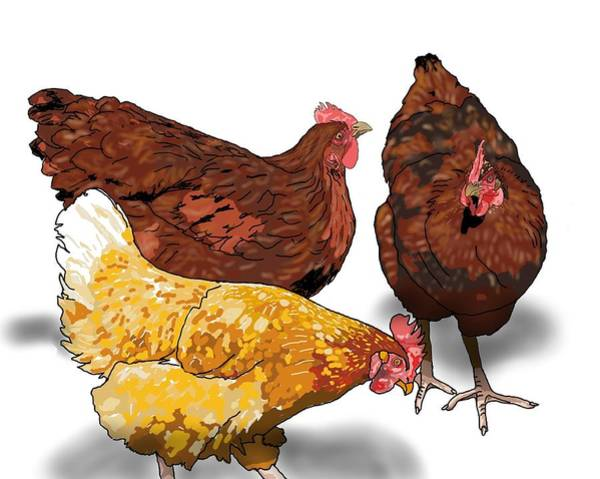 Drawing - 3 Chickens Chat by Joan Stratton