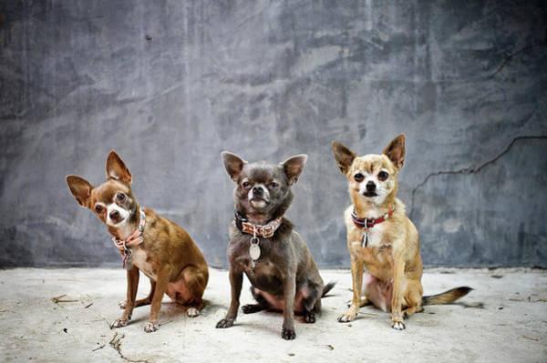 Lap Dog Photograph - 3 Chis by Laura Layera
