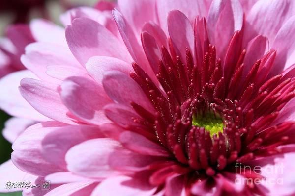 Wall Art - Photograph - Chrysanthemum Named Wanda Lavender by J McCombie