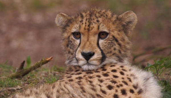 Photograph - Close Up Of A Cheetah by Eye to Eye Xperience
