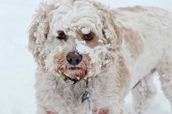 Wall Art - Photograph - Cockapoo In Snow by William Mullins