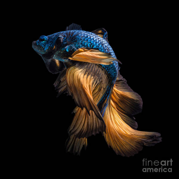 Wall Art - Photograph - Colourful Betta Fish,siamese Fighting by Nuamfolio