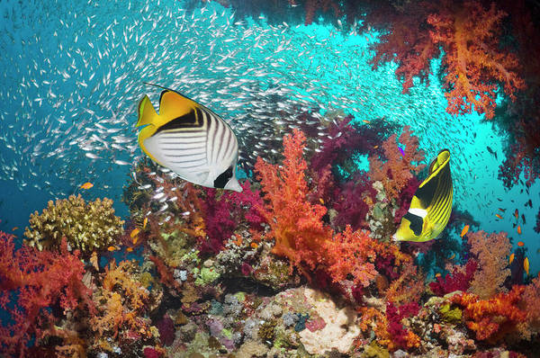 Raccoons Photograph - Coral Reef Scenery With Butterflyfish by Georgette Douwma