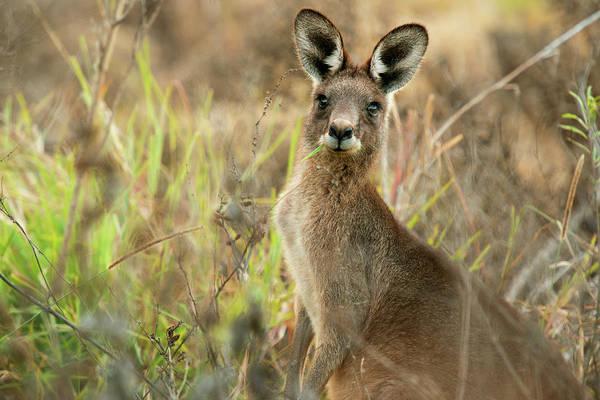 Photograph - Cute Australian Kangaroo by Rob D Imagery