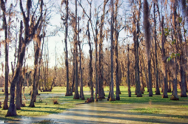 Wall Art - Photograph - Cypress Swamp In Spring. South by Maria Mosolova