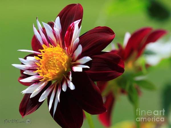 Wall Art - Photograph - Dahlia Named Night Butterfly by J McCombie