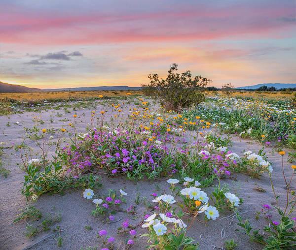Photograph - Desert Sand Verbena, Desert Sunflower by