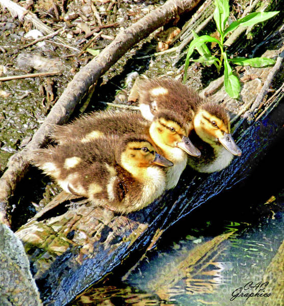 Digital Art - 3 Ducklings by CAC Graphics