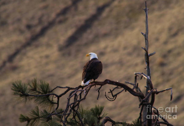 Wall Art - Photograph - Eagle by Jeff Swan