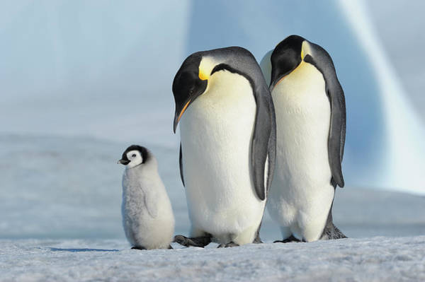 Emperor Photograph - Emperor Penguin by Raimund Linke