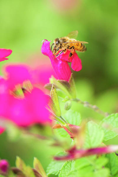 Photograph - European Honey Bee by Rob D Imagery