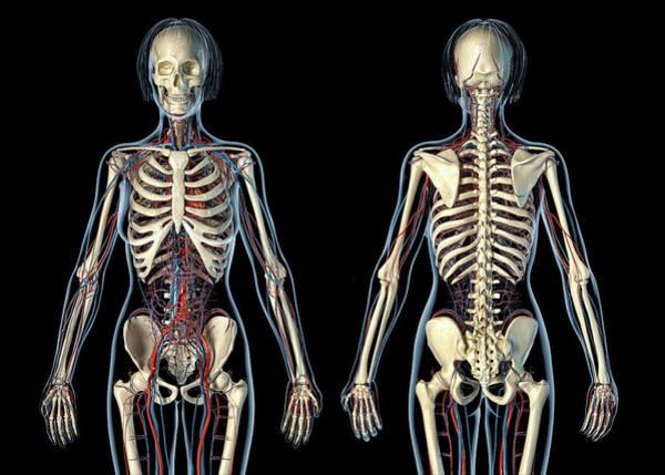 Wall Art - Photograph - Female Anatomy Of Cardiovascular System by Leonello Calvetti