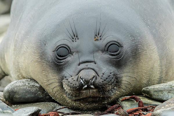 Wall Art - Photograph - Female Elephant Seal, Mirounga Leonina by Adam Jones