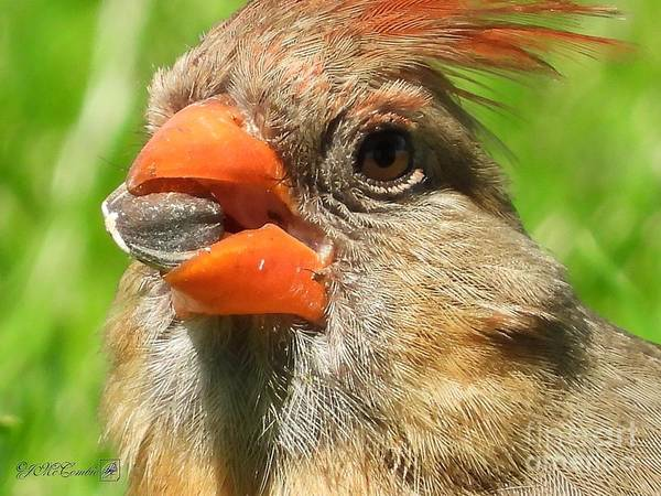 Wall Art - Photograph - Female Northern Cardinal by J McCombie