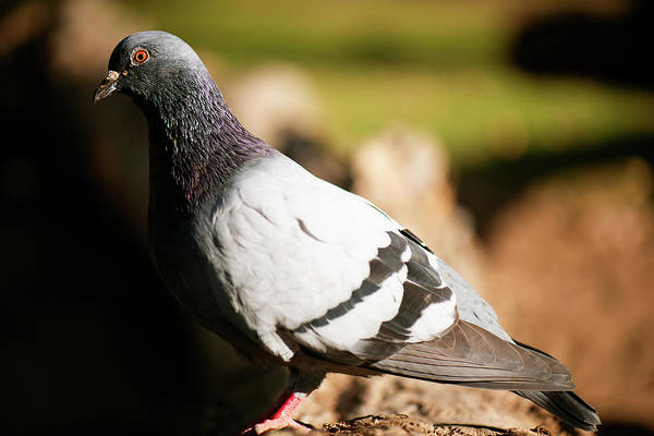 Photograph - Feral Pigeon by Rob D Imagery