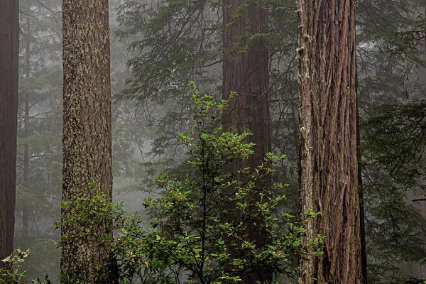 Photograph - 3 Fern Grove Fog, N. California by Phyllis Spoor