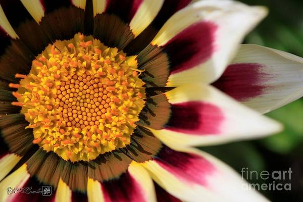 Wall Art - Photograph - Gazania Named New Day Rose Stripe by J McCombie