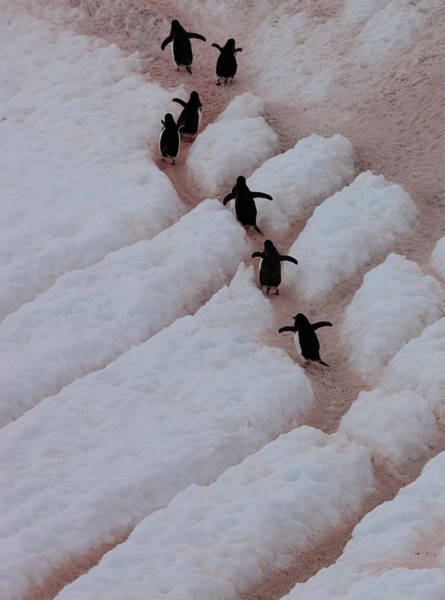 Photograph - Gentoo Penguins, Antarctica by Mint Images/ Art Wolfe