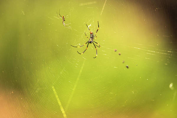 Photograph - Golden Orb Spider. by Rob D Imagery