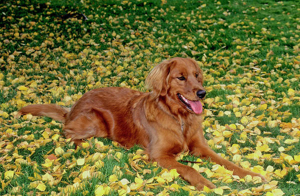 Wall Art - Photograph - Golden Retriever by William Mullins