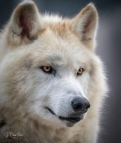 Photograph - Gray Wolf by David Pine