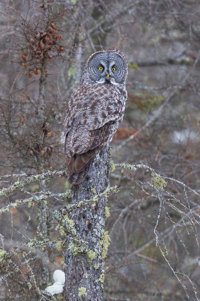 Photograph - Great Gray Owl Sax Zim Bog by Paul Schultz